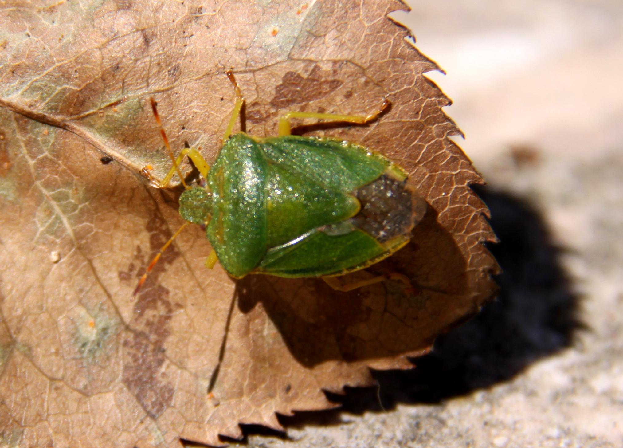 Punaise verte des bois (palomena prasina) Les Taxinomes # Repulsif Punaise Des Bois