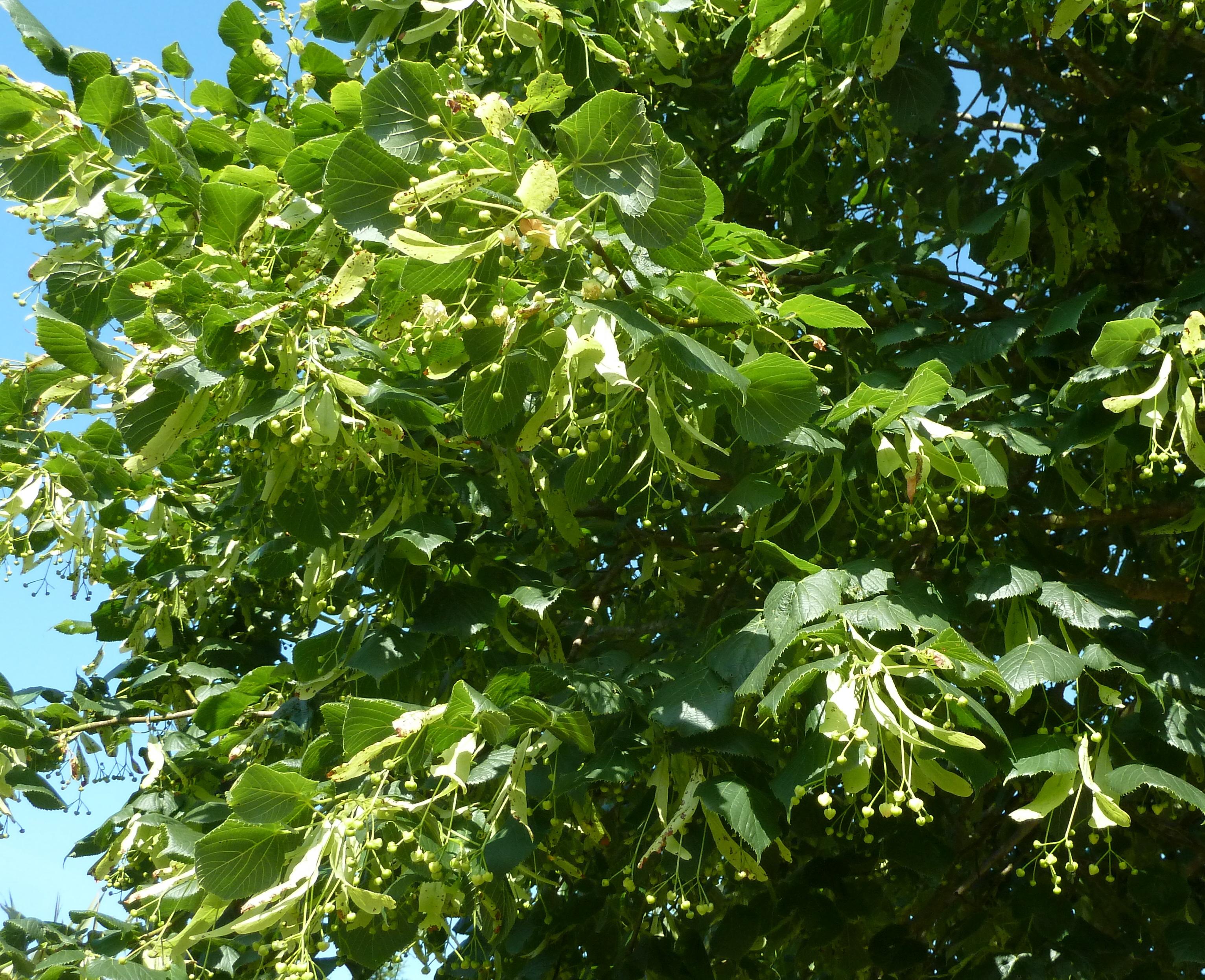 Tilleul a grandes feuilles les taxinomes - Tilleul a grandes feuilles ...