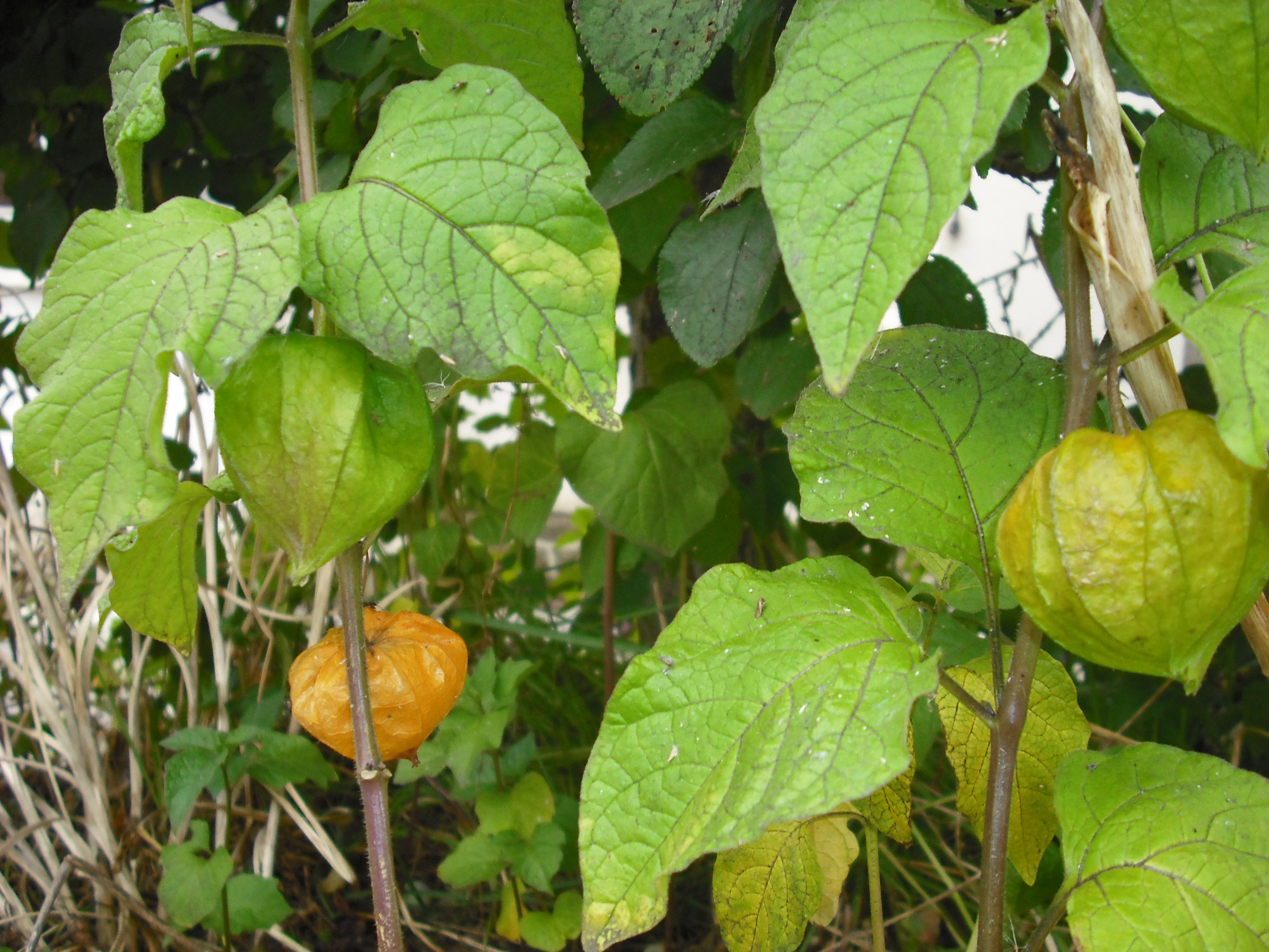 Physalis ou cage d 39 amour les taxinomes - Fruit cage d amour ...
