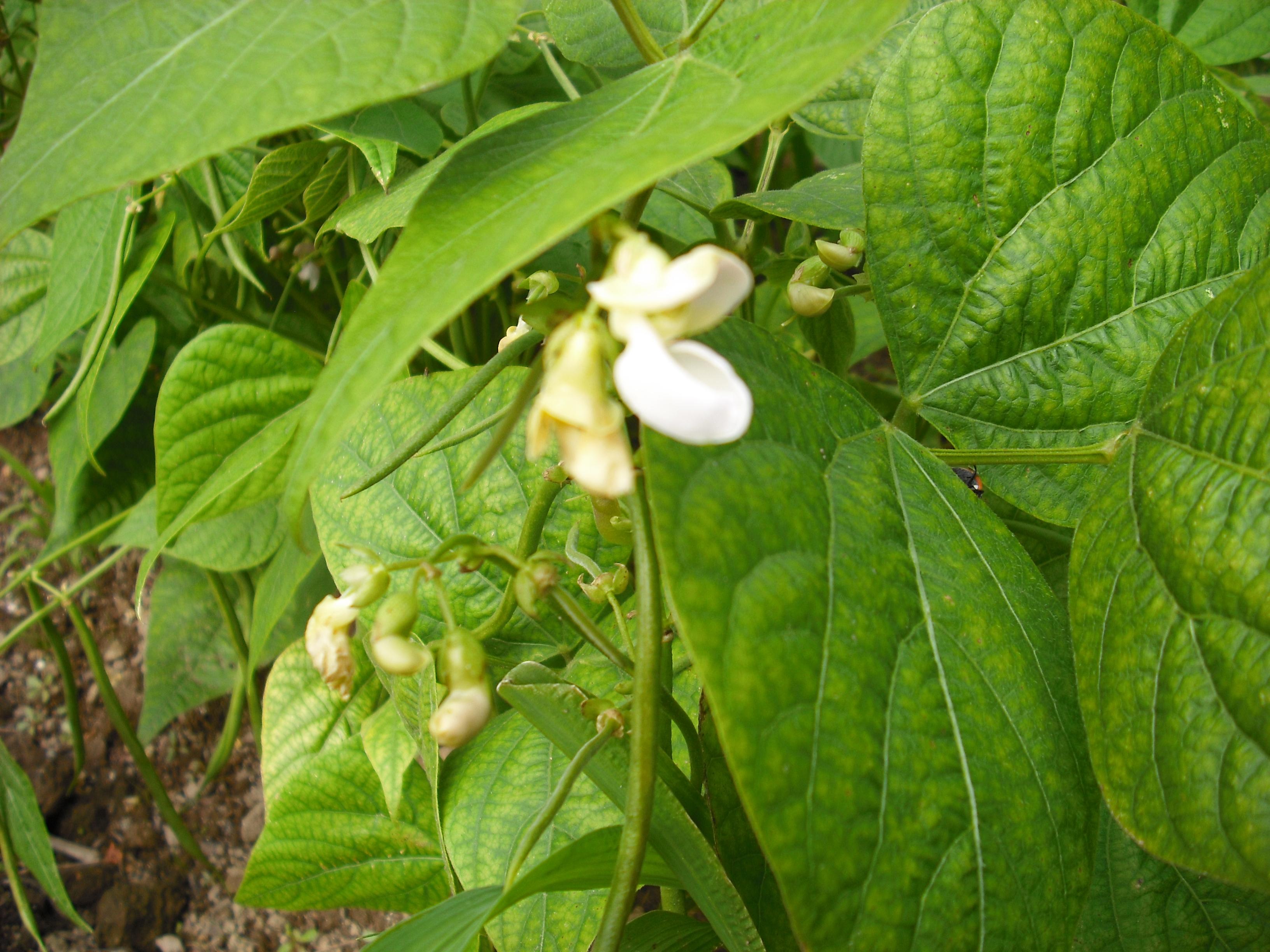 Fleurs d 39 haricots vert les taxinomes - Culture haricot vert plein champ ...