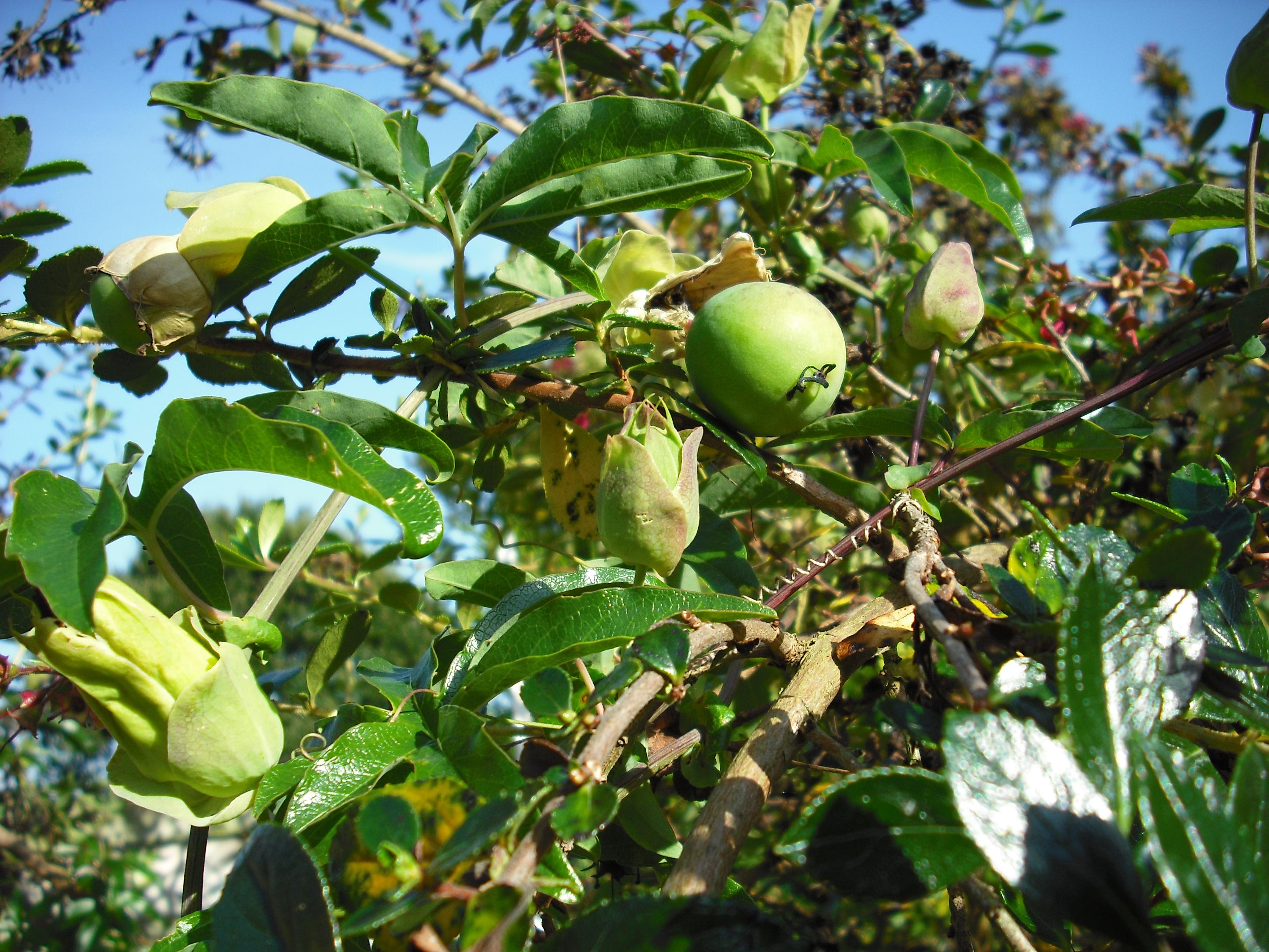 Fruit de la passiflore les taxinomes - Les jardins de passiflore ...
