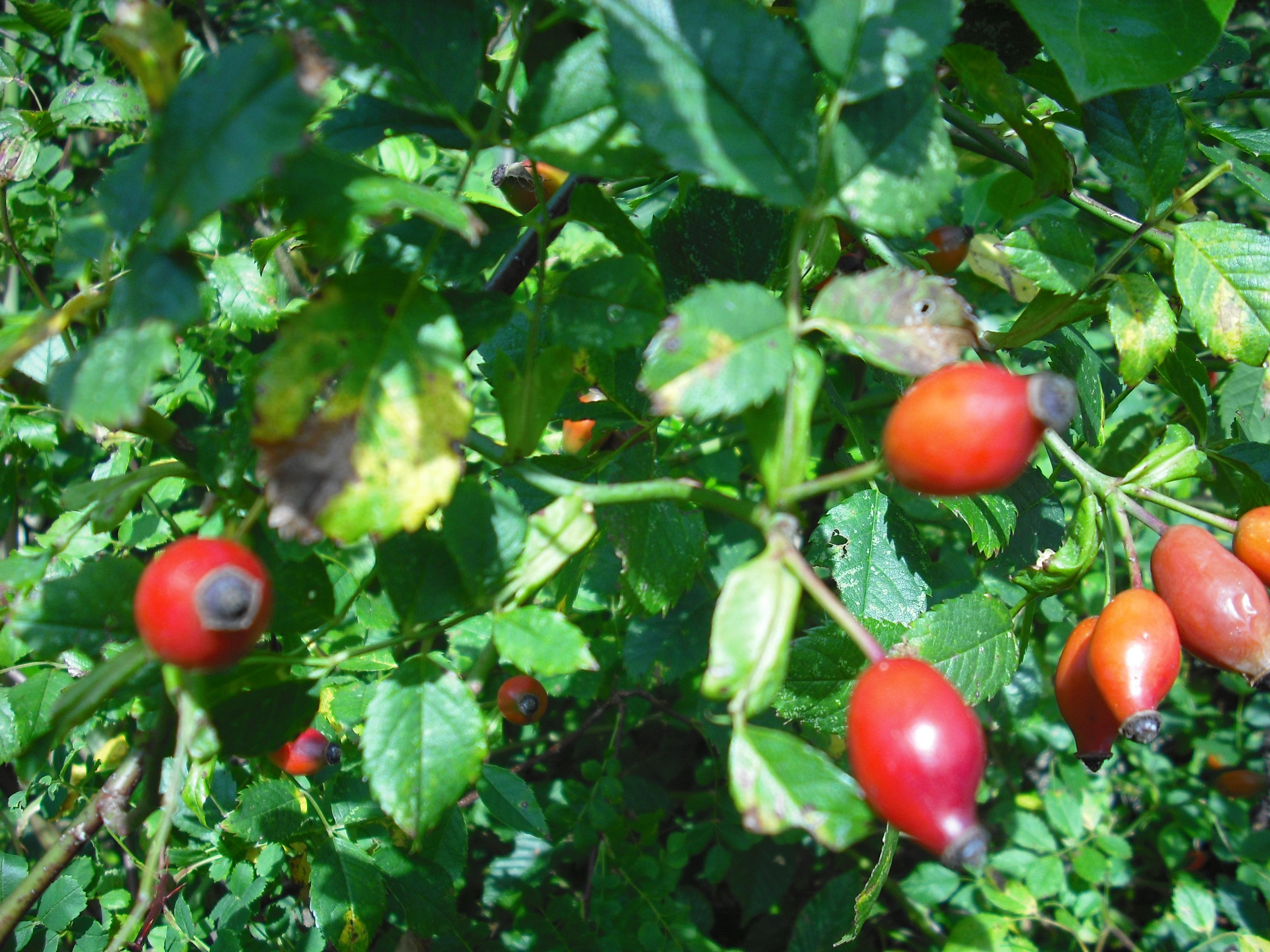 Fruits de l 39 glantier les taxinomes - Poil a gratter plante ...