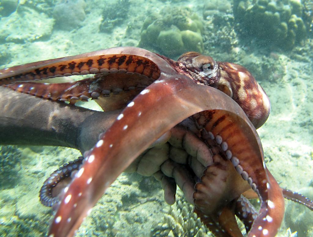 Hobotnica (Octopus cyanea) Img_6638