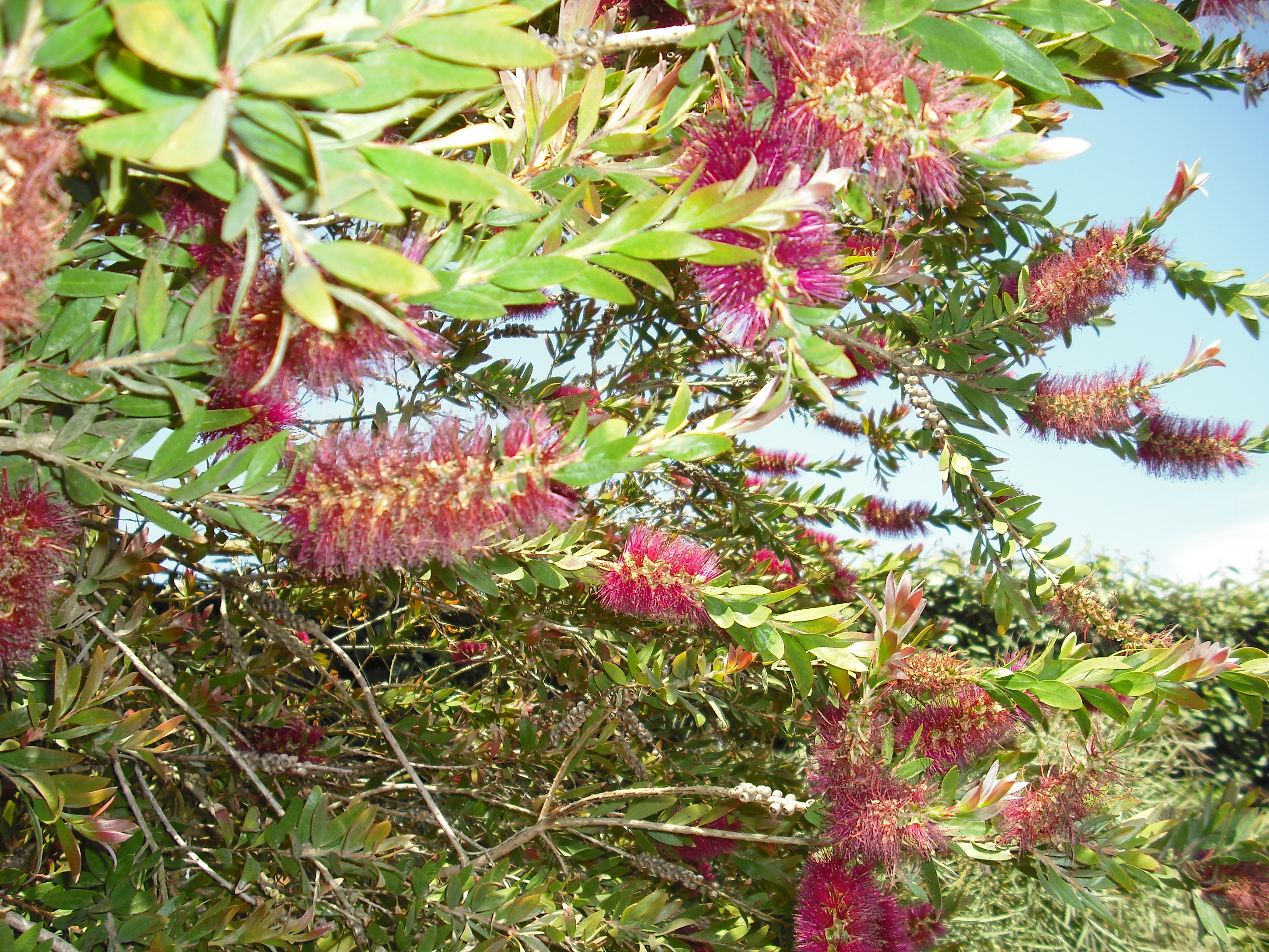 Photo Arbuste Decoratif Aveccfeuillage Persistant