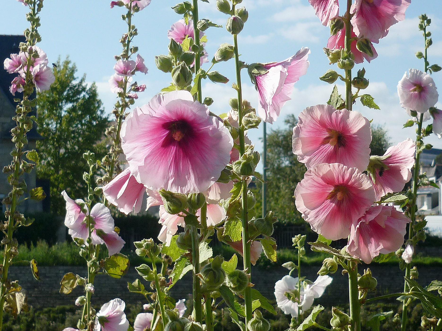 Roses tr mi res les taxinomes - Planter des roses tremieres ...