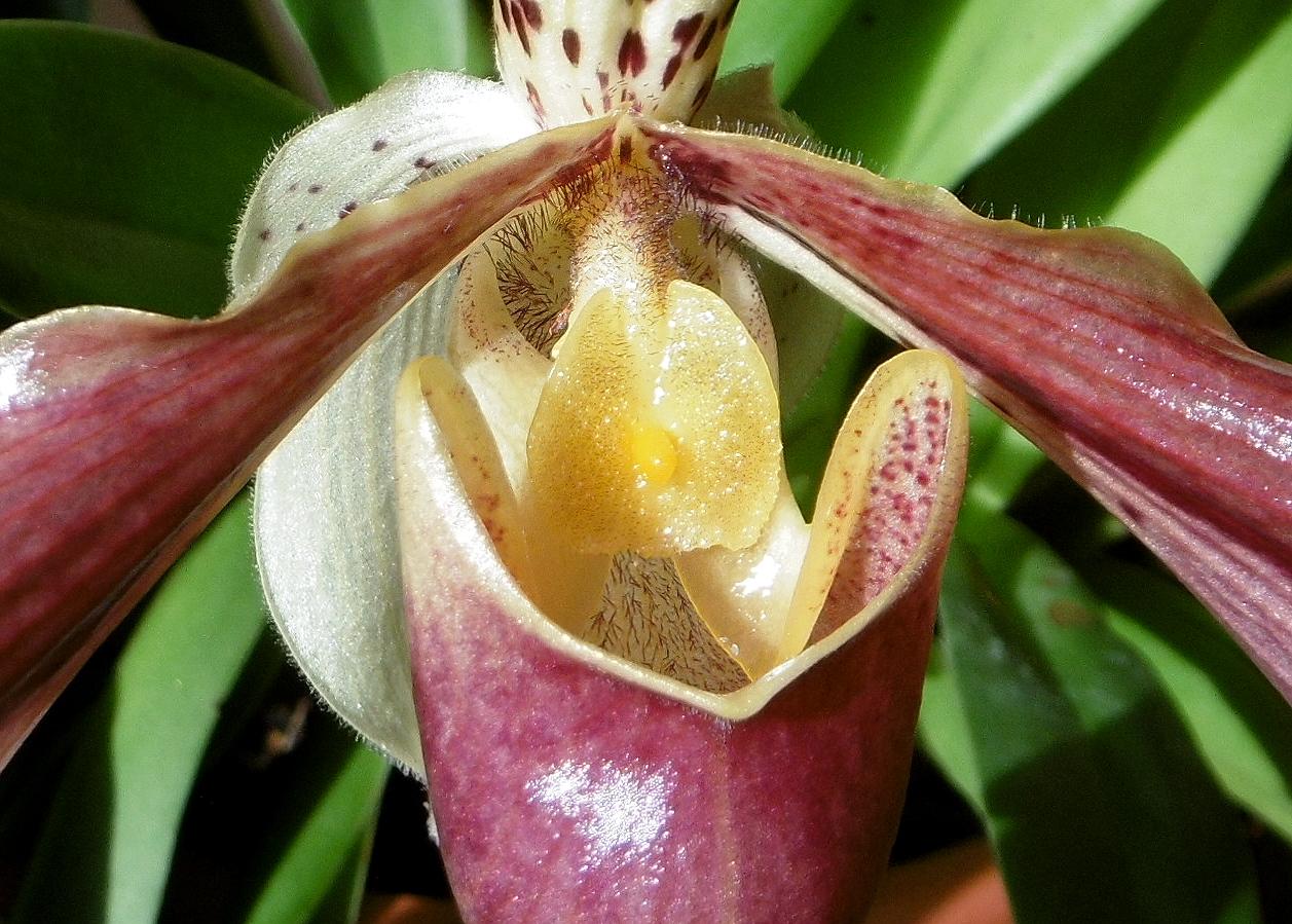 Orchid e sabot de v nus les taxinomes - Orchidee sabot de venus ...