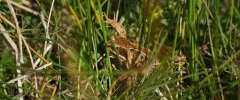 Grenouille rousse 2