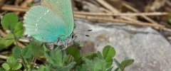 Green Hairstreak Callophrys rubi 001