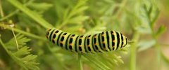 PAPILIO MACHAON 2012 06 19 0006