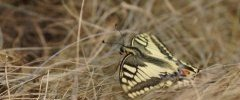 Machaon bisDSC09947