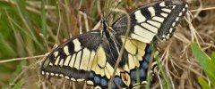 05 jun 19 prairie Cranic Machaon