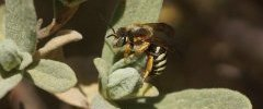 Anthidium sp Anthidie sp