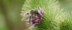 Colletes sp