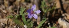 Erodium sp