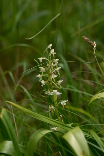 Platanthera sp