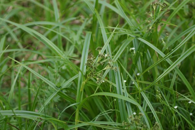 Carex sp