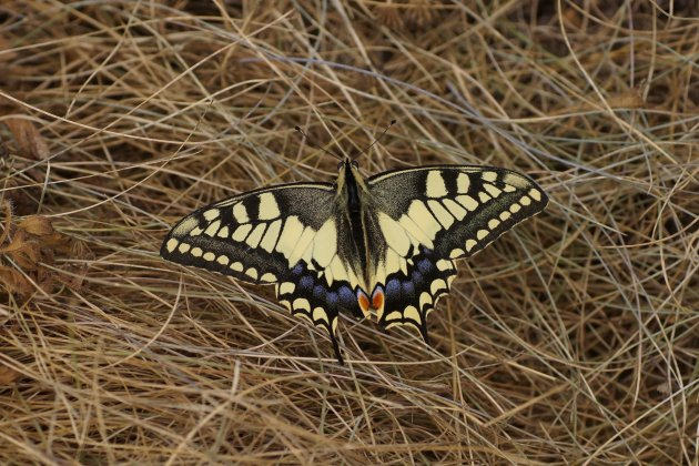 Machaon bisDSC09944
