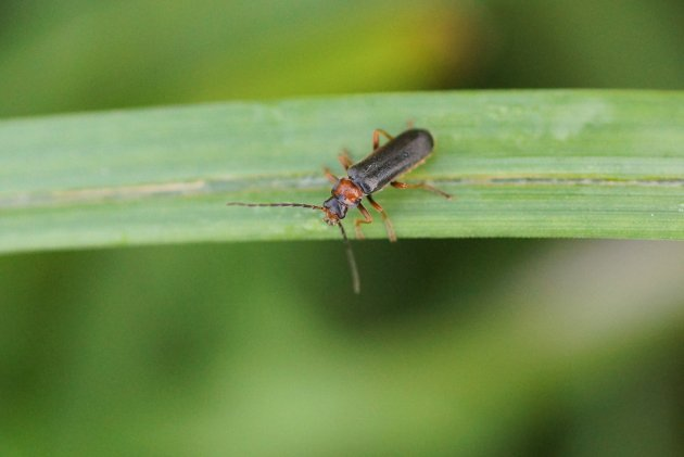 Cantharis sp 2