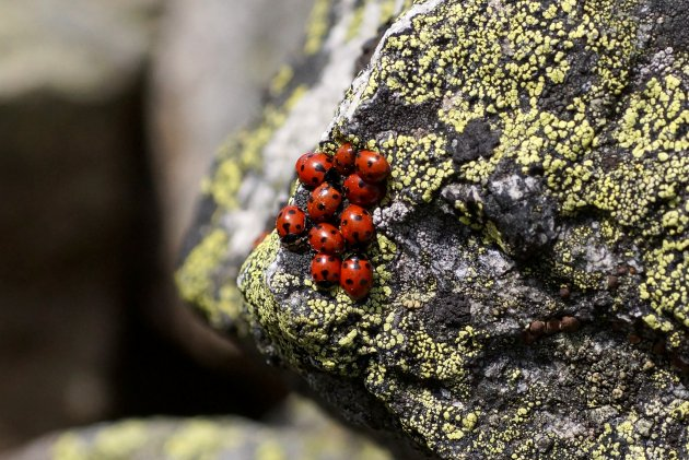 Coccinelles à 7 points